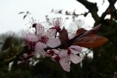 geöffnete Kirschblüte_Foto von Anja Hardt