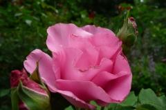Rose_Foto von Anja Hardt