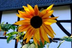 Anja Sonnenblume