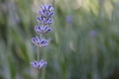 AHo-Lavendel
