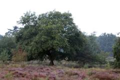 Baum-SK