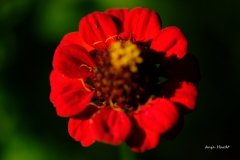 Blume-Anja