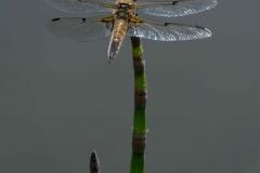 Ahau-Libelle