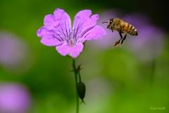 Biene-im-Anflug