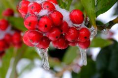 Fruechte-Winter-Schnee-